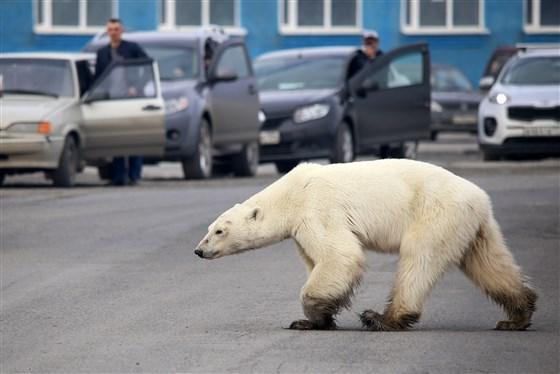 خرس های قطبی تا 80 سال دیگر منقرض می شوند